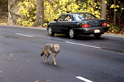 도로에 나타난 코요테